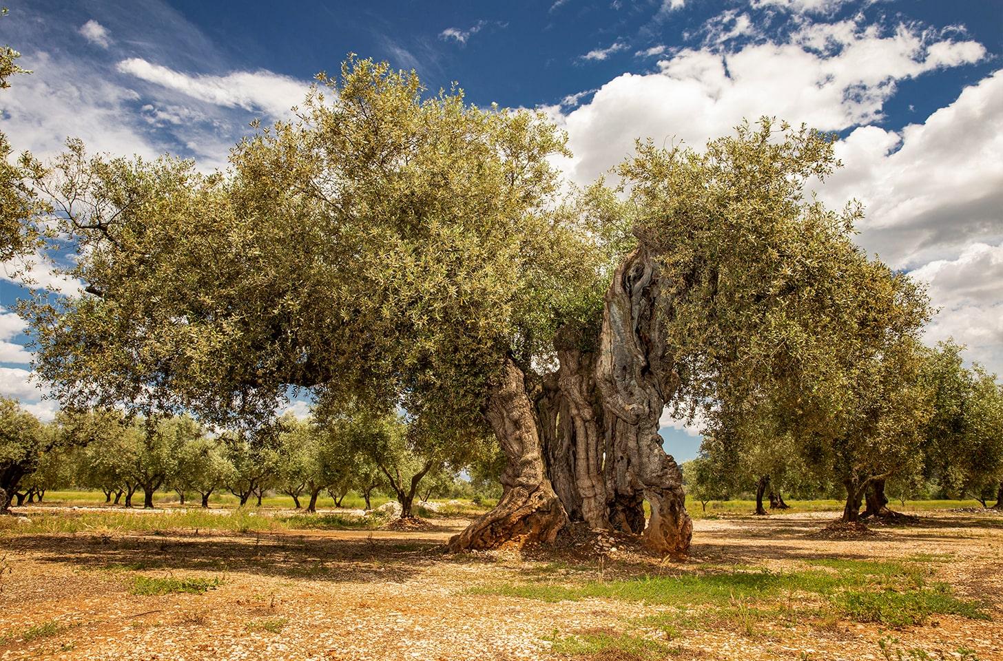 oliveres_01-min