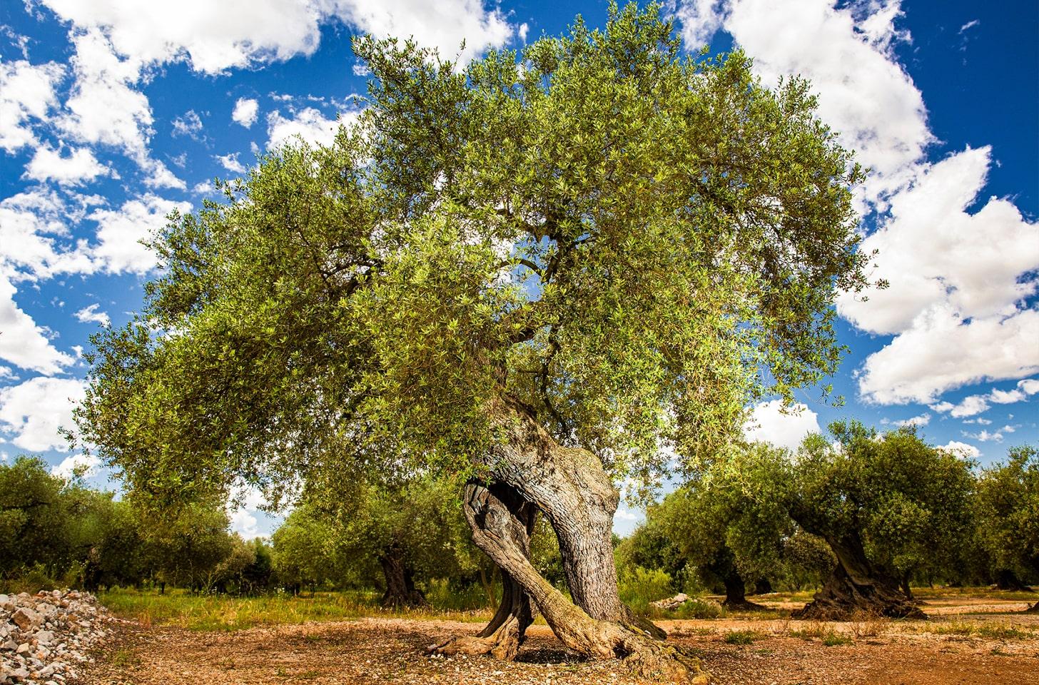 oliveres_03-min