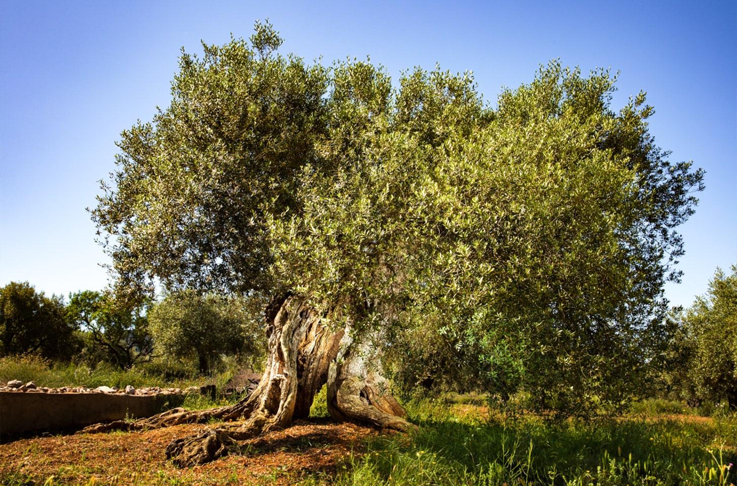 oliveres_04-min