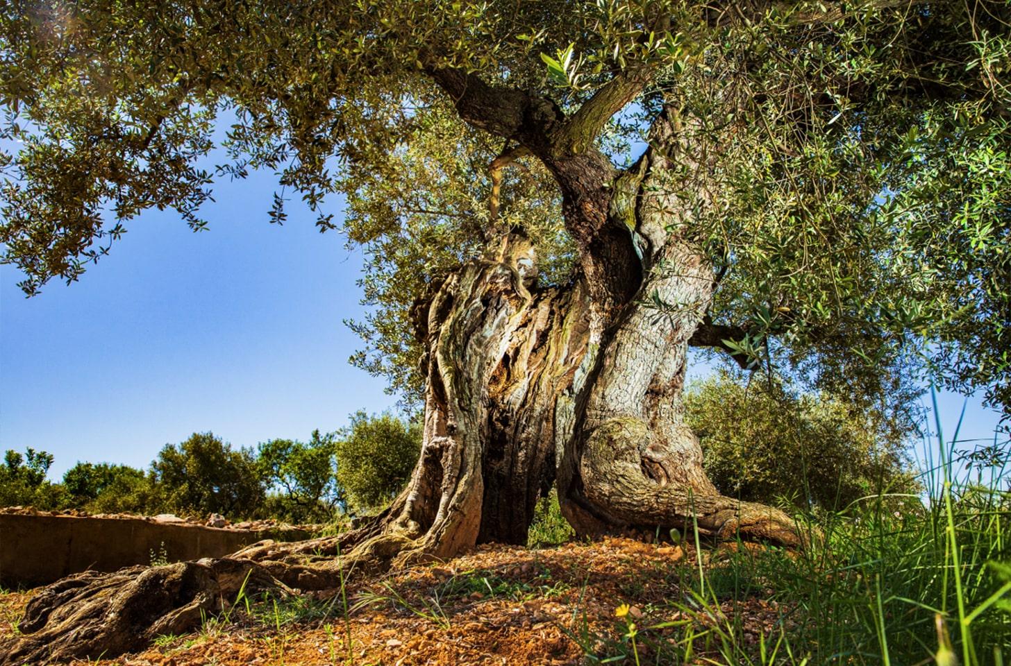 oliveres_05-min