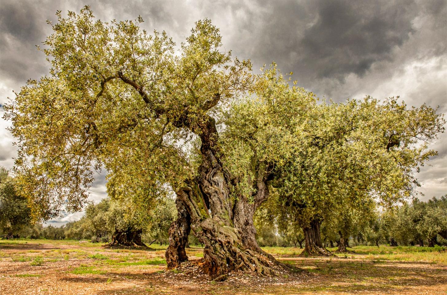 oliveres_08-min